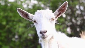 Grappige geit op het landbouwbedrijf De volwassen witte geit weidt in een weide en eet gras stock video