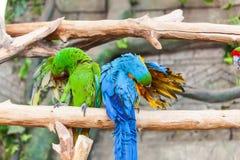 Grappige gekleurde grote de Papegaaienaronskelken van het ara'spaar Stock Foto