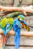 Grappige gekleurde grote de Papegaaienaronskelken van het ara'spaar Royalty-vrije Stock Fotografie