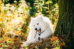 Grappige Gelukkige Witte Samoyed-Hond Openlucht in Autumn Forest Puppy Sitting In Grass royalty-vrije stock afbeelding