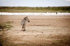 Grappige gestreepte Equus-quagga royalty-vrije stock foto