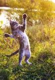 Grappige gestreepte kat die op een groene weide springen die zich op zijn achterste bevinden stock foto