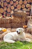 Grappige golden retrieverhond die op hooi rusten stock afbeeldingen