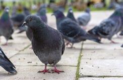 Grappige grijze duif in een stadspark stock afbeeldingen