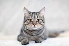 Grappige grijze kat op een bank Stock Foto's