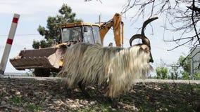 Grappige grote volbloed- geit met reusachtige hoornen die gebladerte van een boom kauwen en twee voet, niet verre van Tbilisi kri stock video