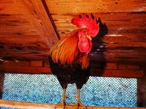 Grappige haan op de toppositie in het kippenhuis royalty-vrije stock foto's