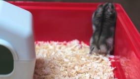 Grappige hamster die dicht naar boven gaan stock video