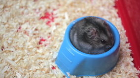 Grappige hamster die dicht omhoog eten stock footage