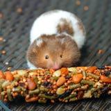 Grappige hamster die voedsel eten Stock Foto's
