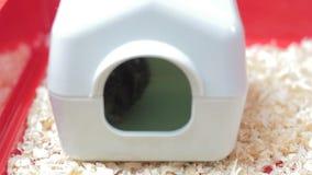 Grappige hamster in het stuk speelgoed huis stock video