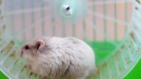 Grappige hamsters op wiel in kooi stock video