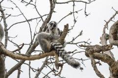 Grappige het denken Maki op de boom stock afbeeldingen