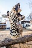 Grappige het lachen zebra Royalty-vrije Stock Foto's
