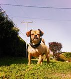 Grappige hond †die ‹â€ ‹met haar tong grimassen trekken stock foto
