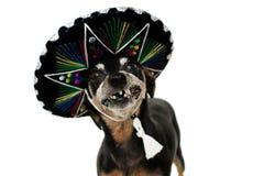 GRAPPIGE HOND DIE EEN MEXICAANSE HOED VOOR EEN DEEL VAN CARNAVAL DRAGEN OF HALLOWEEN- royalty-vrije stock foto