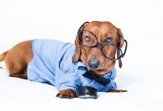 Grappige hond die glazen en een overhemd dragen Stock Afbeeldingen