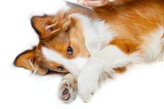 Grappige hond die vrees om te verzorgen tonen Stock Foto