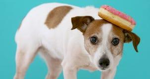 Grappige hond met doughnut stock footage