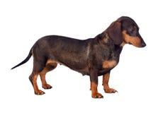 Grappige hond teckel Royalty-vrije Stock Fotografie