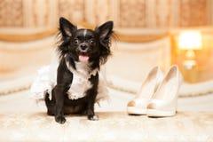 Grappige hond van de bruid in een witte huwelijkskleding Royalty-vrije Stock Fotografie