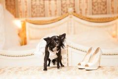 Grappige hond van de bruid in een witte huwelijkskleding Royalty-vrije Stock Afbeelding