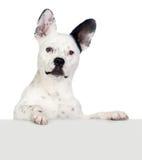Grappige hond zwart-wit met afluisteraar Royalty-vrije Stock Foto