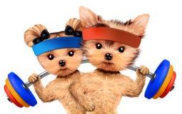 Grappige honden die met barbells in sportgymnastiek opleiden Stock Afbeelding