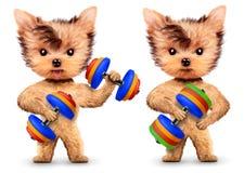 Grappige honden die met domoor in sportgymnastiek opleiden Stock Foto's