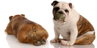 Grappige hondstrijd stock afbeeldingen