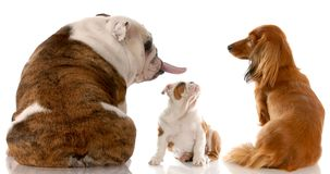 Grappige hondstrijd Royalty-vrije Stock Fotografie