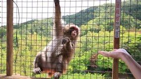Grappige Japanse aap stock video