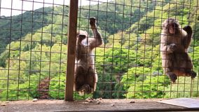 Grappige Japanse apen stock video