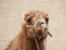 Grappige kameel Stock Foto
