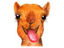 Grappige kameel met zijn tong die uit hangen Royalty-vrije Stock Afbeelding