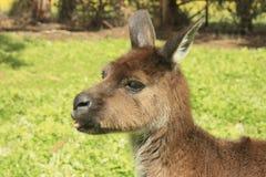 Grappige kangoeroe Stock Afbeelding