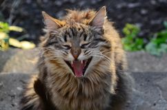 Grappige katje geeuw royalty-vrije stock foto