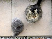 Grappige katten grijze meaws royalty-vrije stock foto