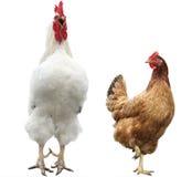 Grappige kip en haan Royalty-vrije Stock Afbeeldingen