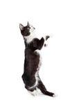 Grappige Kitten Standing Up Dancing Royalty-vrije Stock Foto's