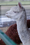 Grappige lama royalty-vrije stock afbeelding