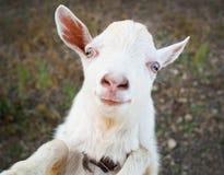 Grappige landelijk weinig geitjong geitje stock foto