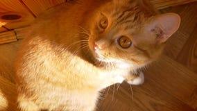 Grappige lengte die van het rode kat spelen met zijn poot bij camera, op bruine muur, huis vibes en sunlights zich op zoet gezich stock footage