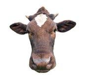 Grappige leuke bevlekte die koe op wit wordt geïsoleerd Zwart-witte dichte omhooggaand van de koesnuit Grappige nieuwsgierige koe Royalty-vrije Stock Foto