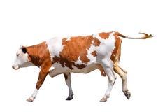 Grappige leuke die koe op wit wordt geïsoleerd Het springen rode koe Grappige bevlekte koe De dieren van het landbouwbedrijf Koe, Stock Fotografie