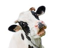 Grappige leuke die koe op wit wordt geïsoleerd Sprekende zwart-witte koe Grappige nieuwsgierige koe Royalty-vrije Stock Fotografie