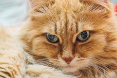 Grappige leuke Gember of Rad Cat-portret Stock Afbeeldingen
