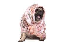 Grappige leuke pug puppyhond met headscarfzitting neer geeuw, geïsoleerd op witte achtergrond royalty-vrije stock afbeeldingen