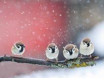 Grappige leuke vogels die op een tak in de sneeuw in Park bij de winter zitten stock foto's