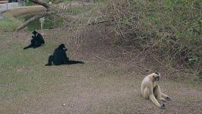 Grappige luie macaques liggen op droog gras tegen klein meer stock videobeelden